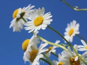 Image of daisies against a blue sky