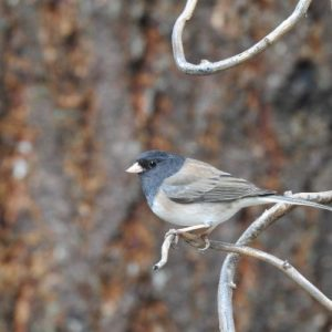 The dark eyed junco