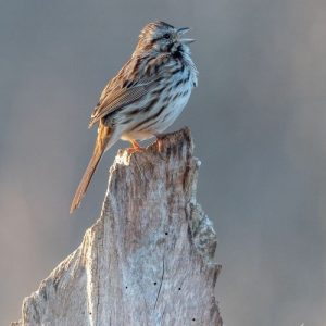 The song sparrow