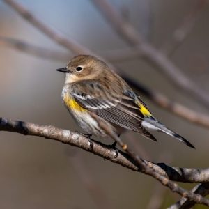 The Yellow Rumped Warbler